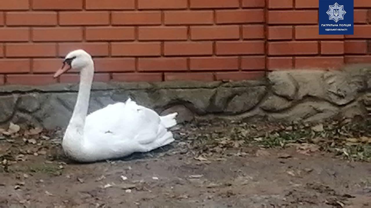 Патрульные Одессы спасли лебедя