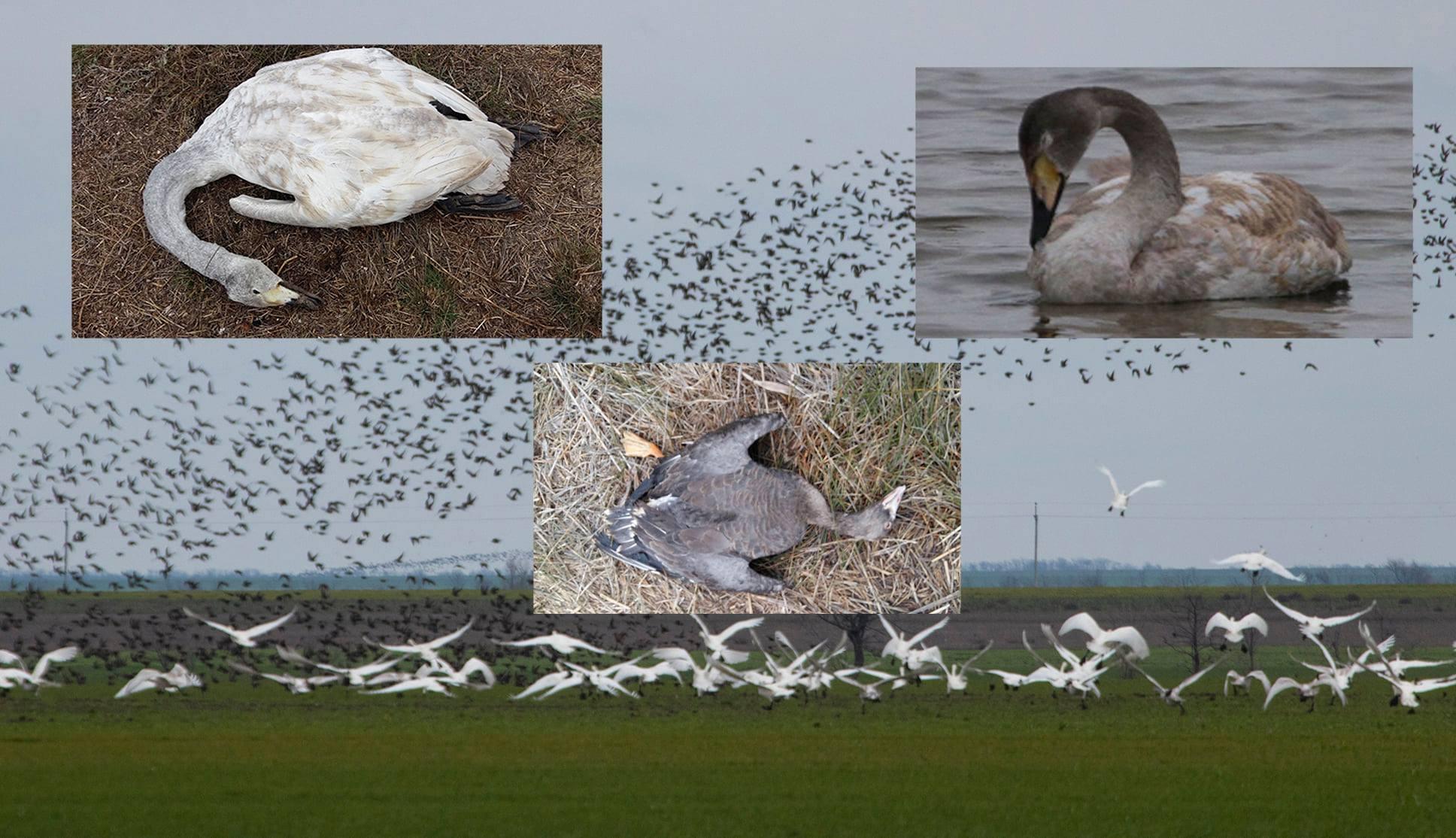погибшие птицы